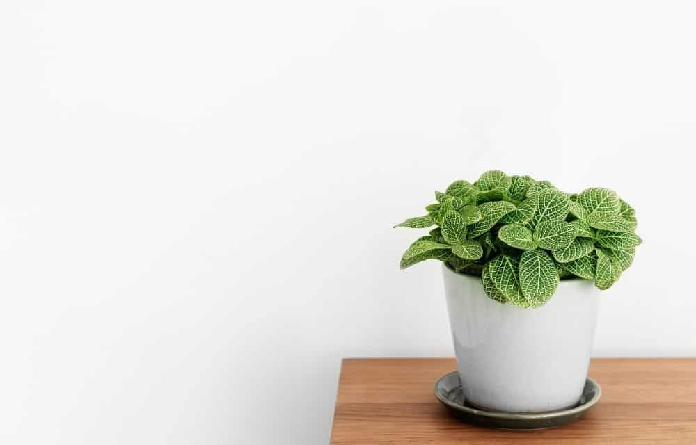 nerve plant on a table against a white wall