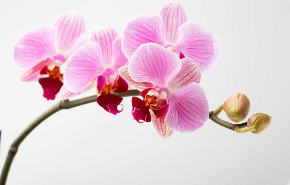 light purple orchid against a white background