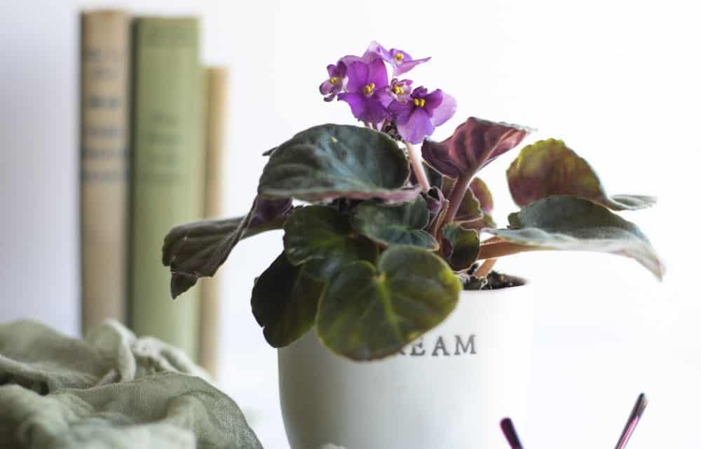 African violet houseplant with a purple bloom